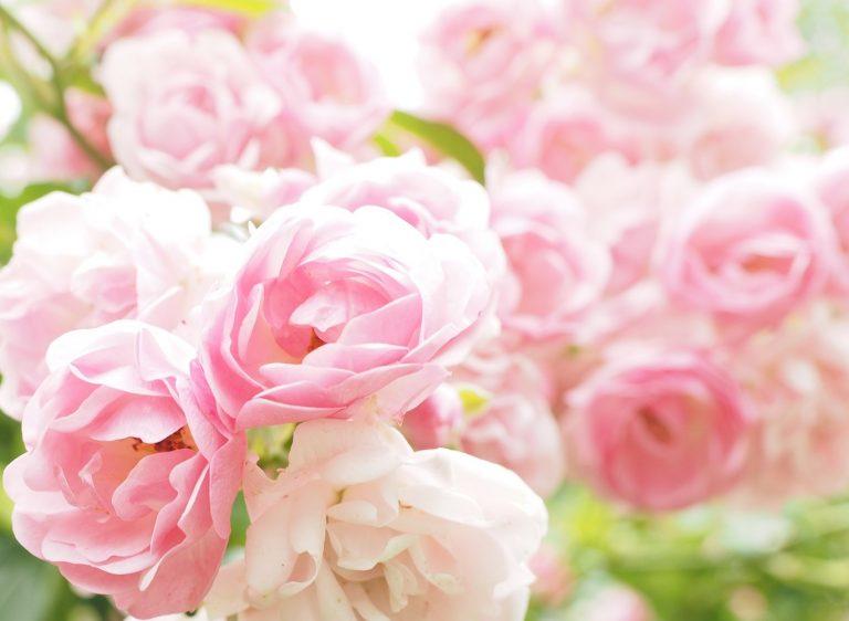 Vackra ljusrosa rosor.