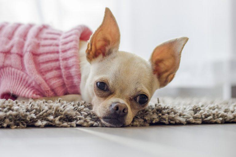 Söt chihuahua i rosa tröja. Ligger på en mjuk matta.