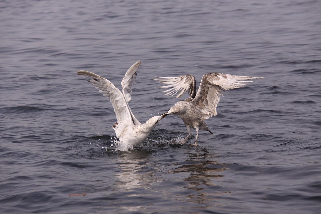 Två fiskmåsar slåss i vattnet.